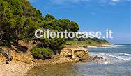 Un tratto di spiaggia incontaminato e il verde dei pini che costeggiano la costa di Punta Licosa