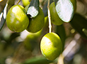 Le olive dell'azienda agrituristica La Fattoria
